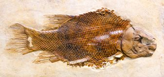 Fossil of Lepidotes Maximus, an extinct fish from the Jurassic period. Stock Photography