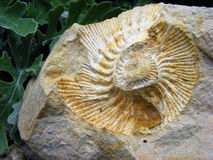 Fossil mollusk. Fossil footprint in stone clams in a spiral on a background of green plants Stock Photo