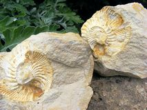 Fossil mollusks. Fossil footprints in stone clams in a spiral on a background of green plants Royalty Free Stock Photo