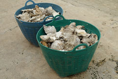 Fossil oyster shells Stock Images