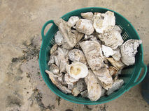 Fossil oyster shells in a basket Stock Image