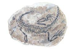 Fossil på vit Arkivbilder