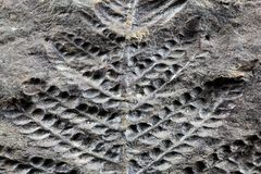 Fossil Plant. A fossil plant of Carboniferous age from Spain Royalty Free Stock Photo