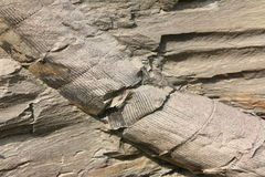 Fossil Plant Stem Stock Image