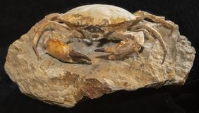 Large Prehistoric Crab Fossilized Skeleton