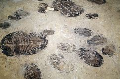 Fossil of primeval life Royalty Free Stock Photography