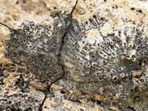 fossil- rev för korall Royaltyfri Bild