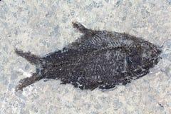 fossil ryb Fotografia Royalty Free