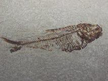 fossil ryb Fotografia Stock