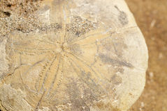 Fossil Sand Dollar Royalty Free Stock Images