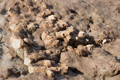Fossil sea sponge on stone. Royalty Free Stock Photography