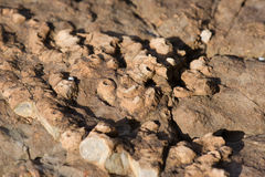 Fossil sea sponge on stone Royalty Free Stock Image