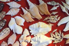 Sea shell and fossil Royalty Free Stock Photo