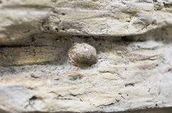Fossil seashell. Royalty Free Stock Photography