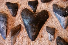 Fossil shark's teeth Royalty Free Stock Photo