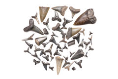 Fossil sharks teeth Stock Images