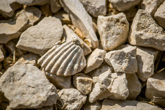 Fossil shell Royalty Free Stock Images
