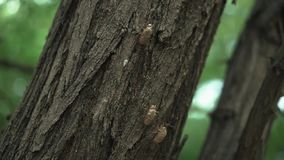 Fossil or shell of cicada or insect molting on the tree in the summer. Day light stock video