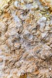 Fossil shell close-up background. With fossilized stubby-shaped gastropods animals Stock Photos