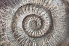 Fossil shell pattern spiral texture Stock Image