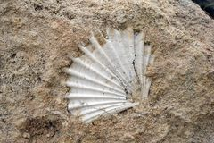 Fossil shell in the rock in southern Italy. Detail closeup stock images