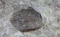 Fossil Shell. A fossil shell from the Upper Triassic of Southern Germany Stock Images
