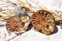 Fossil Shells: Ammonites Stock Photos