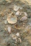 Fossil shells Stock Photo