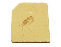 Fossil Shrimp from ancient ocean Stock Photos