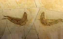 Fossil shrimp Stock Image
