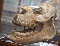 fossil- skalle Arkivfoto