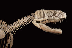 Fossil- skalle för Triceratops över vit isolerad bakgrund Arkivfoton