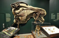 Fossil skeleton of a dinosaur. The exhibition takes place in the museum of Manitoba, Winnipeg, Canada royalty free stock photo