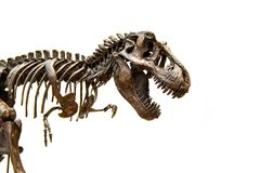 Fossil skeleton of Dinosaur Tyrannosaurus Rex. Fossil skeleton of Dinosaur king Tyrannosaurus Rex t-rex isolated on white background stock images