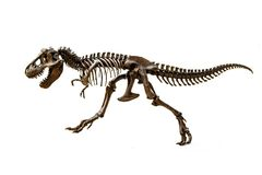 Fossil skeleton of Dinosaur Tyrannosaurus Rex. Fossil skeleton of Dinosaur king Tyrannosaurus Rex t-rex on white background royalty free stock photography