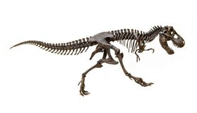 Fossil skeleton of Dinosaur Tyrannosaurus Rex. Fossil skeleton of Dinosaur king Tyrannosaurus Rex t-rex isolated on white background stock photography