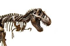 Fossil- skelett av dinosaurietyrannosarien Rex arkivbilder