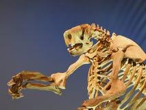 Fossil- skelett modellOf A Jeffersons för jordsengångare royaltyfri bild