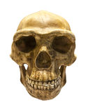 Fossil skull of Homo Antecessor. The earliest known human species in Europe Royalty Free Stock Photography