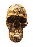 Fossil skull of Sapiens stock image