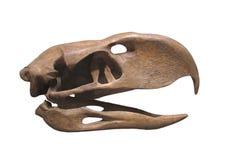 Fossil skull extinct giant bird isolated. Fossil skull of a giant extinct prehistoric flightless bird known as a Titanis Walleri, or terror bird. Isolated on royalty free stock photos