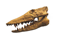 Fossil skull of marine reptile isolated. Stock Photos