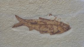 A fossil of a slim bodied fish in white sandstone shows the details of this prehistoric marine animal.  stock photo