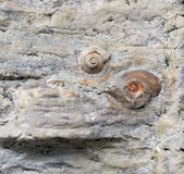 Fossil snails. Royalty Free Stock Photos