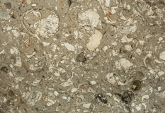 Fossil stone texture background. Close up Gastropods geology fossil stone texture background Royalty Free Stock Photography