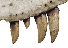 Fossil teeth and jaw bone of dinosaur isolated. Close-up of four teeth and upper jaw bone of a theropod dinosaur. Isolated on white stock image