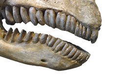 Fossil teeth and jaw of mammal isolated. Close-up of the jawbones and teeth of a large pre-historic herbivore mammal related to a Brontotherium.. Isolated on Royalty Free Stock Photos