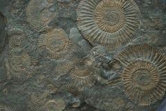 fossil- textur för ammonit Royaltyfria Bilder