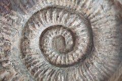 Fossil- textur för skalmodellspiral Fotografering för Bildbyråer