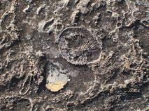 Fossil texture. Natural texture with ancient fossils Royalty Free Stock Images